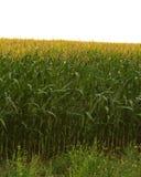 Kukurudza w słońcu Obrazy Royalty Free