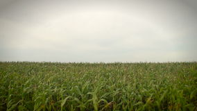 Kukurudza w wiatrze zbiory