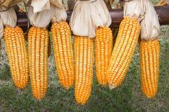 Kukurudza wieszająca na ogrodzeniu Zdjęcie Stock