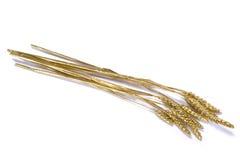 kukurudza złota Obraz Royalty Free