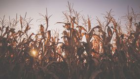 Kukurudza zapasy w Październiku obraz stock