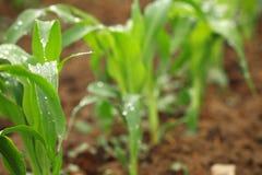 kukurudza zasadza potomstwa obrazy stock