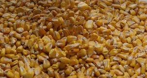 Kukurudza, zea Majów spadać, zbiory