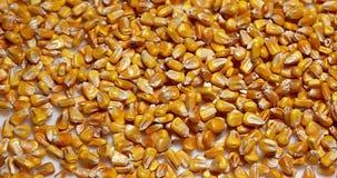Kukurudza, zea Maje spada przeciw Białemu tłu, zbiory