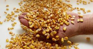 Kukurudza, zea Maje spada w rękę przeciw białemu tłu, zbiory wideo