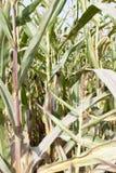 kukurudzy dojrzały suchy obrazy royalty free