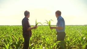 Kukurudzy dwa rolnicy chodzi przez jego pola w kierunku kamery zwolnionego tempa pola uprawnego wideo rolnictwo Kukurydzany średn zdjęcie wideo