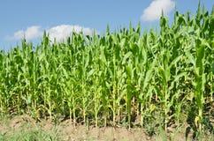 Kukurudzy gospodarstwo rolne Zdjęcia Royalty Free