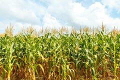Kukurudzy gospodarstwo rolne w Tajlandia Obraz Stock