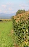Kukurudzy pole Zdjęcie Royalty Free