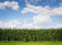 Kukurudzy pole Zdjęcie Stock