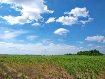 Kukurudzy pole Obraz Stock