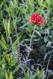 Kukurudzy róży kwiat Fotografia Royalty Free