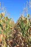 Kukurydz uprawy Zdjęcie Royalty Free
