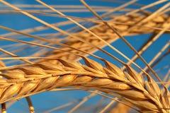 kukurydza Zdjęcie Stock