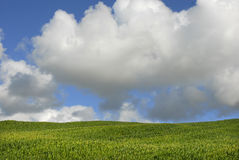 kukurydza Zdjęcie Royalty Free