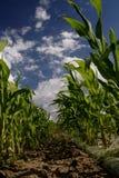 kukurydza cukrowa pola Obrazy Royalty Free