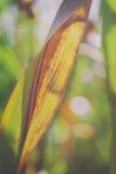 Kukurydza liść Fotografia Royalty Free