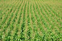 Kukurydza międzyplonu śródpolny irlandczyk zdjęcia royalty free