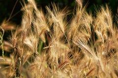 kukurydza niedojrzała fotografia royalty free