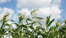 Kukurydza wierzchołki Zdjęcia Royalty Free