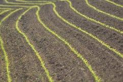 kukurydza wiosłuje krótkopędy Zdjęcie Stock