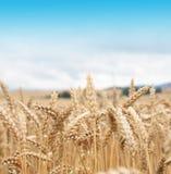 kukurydza złota Zdjęcie Royalty Free