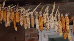 kukurydza zaschnięta zbiory wideo