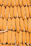 kukurydza zaschnięta Zdjęcia Royalty Free