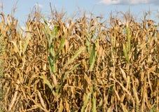 kukurydza zaschnięta Zdjęcie Royalty Free