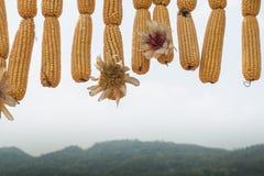 kukurydza zaschnięta Obraz Stock