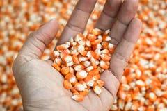 Kukurydzana karma na ręce Obraz Royalty Free