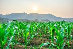 Kukurydzana kukurydzana kukurudza obrazy stock