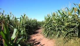 Kukurydzana labirynt ścieżka zdjęcie stock