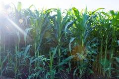 Kukurydzana liść zieleń Fotografia Stock