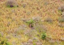 Kukurydzana plantacja Obrazy Royalty Free