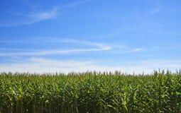 Kukurydzana plantacja fotografia royalty free