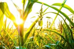 kukurydzana roślina Zdjęcie Stock