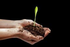 Kukurydzana roślina w ręce Zdjęcia Royalty Free