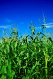 kukurydzana roślina Obraz Royalty Free