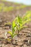 Kukurydzana roślina Zdjęcia Royalty Free