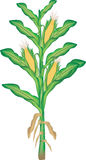 kukurydzana roślina Obrazy Stock