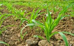Kukurydzana roślina w gospodarstwie rolnym Thailand Fotografia Stock