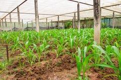 Kukurydzana roślina w gospodarstwie rolnym Thailand Zdjęcia Stock