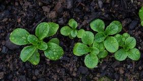 Kukurydzana sałatka z raindrops r w ziemi fotografia royalty free