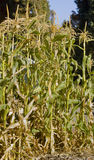 kukurydzana uprawa Obrazy Stock