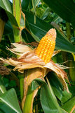 kukurydzana uprawa Zdjęcia Royalty Free