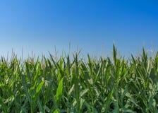 Kukurydzana uprawa Zdjęcia Stock