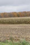 Kukurydzana uprawa Fotografia Stock