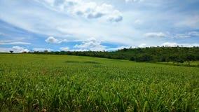 Kukurydzana uprawa pod niebieskim niebem zdjęcie royalty free
